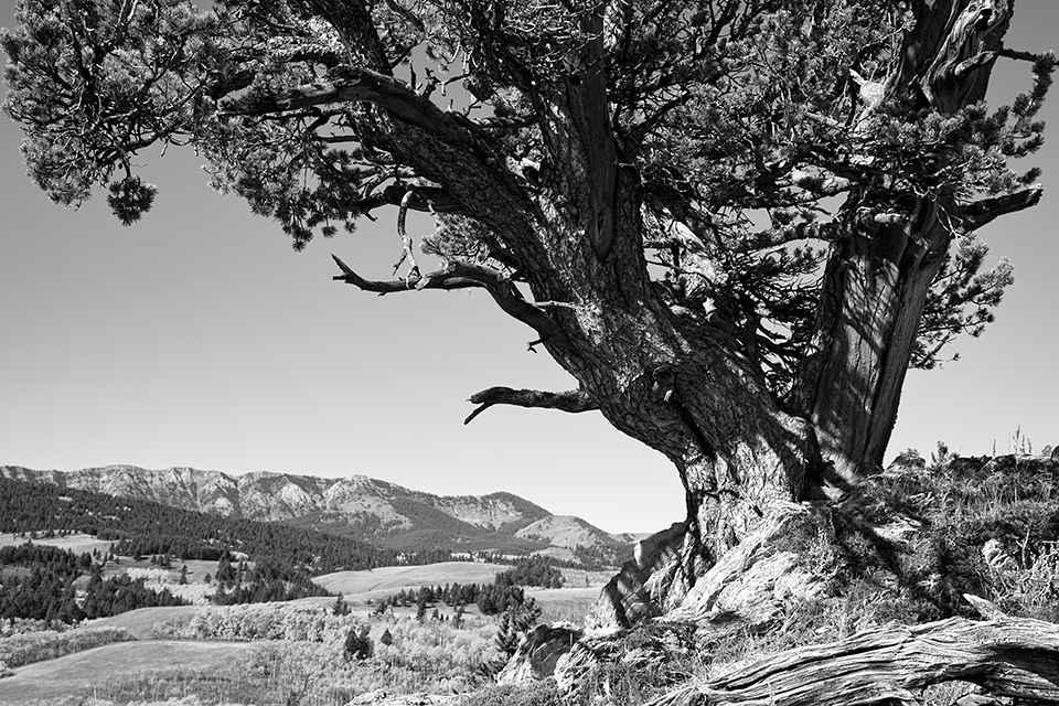 Bob Creek Limber Pine
