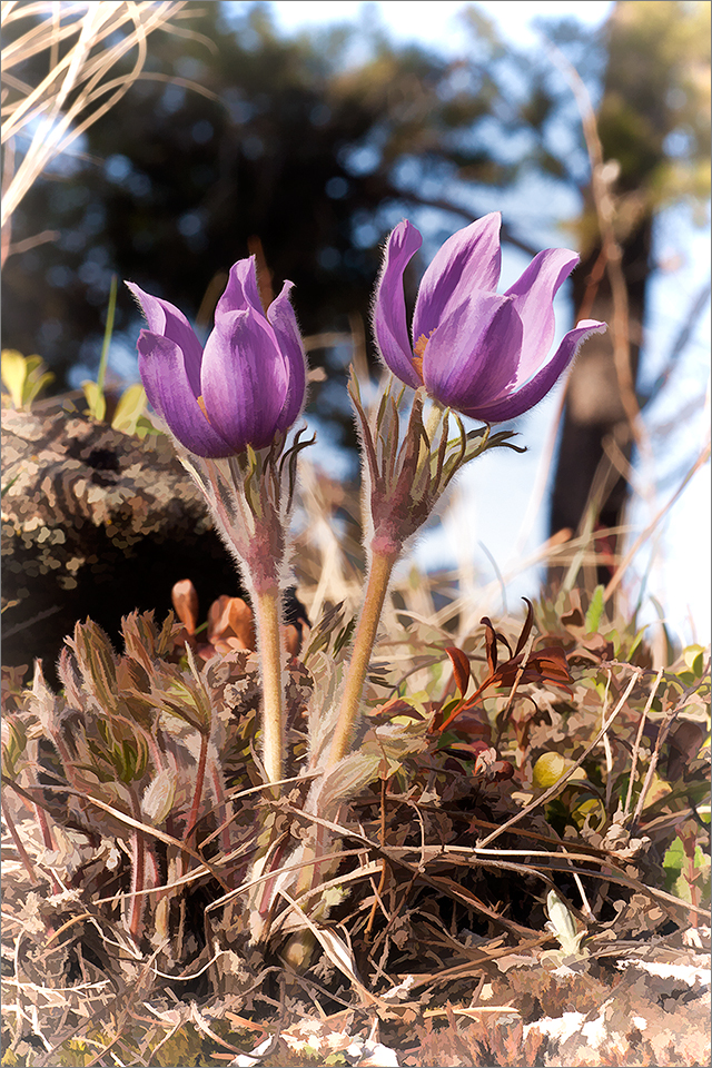 Prairie Crocus Pair
