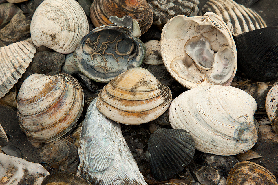Folly Beach Seashells