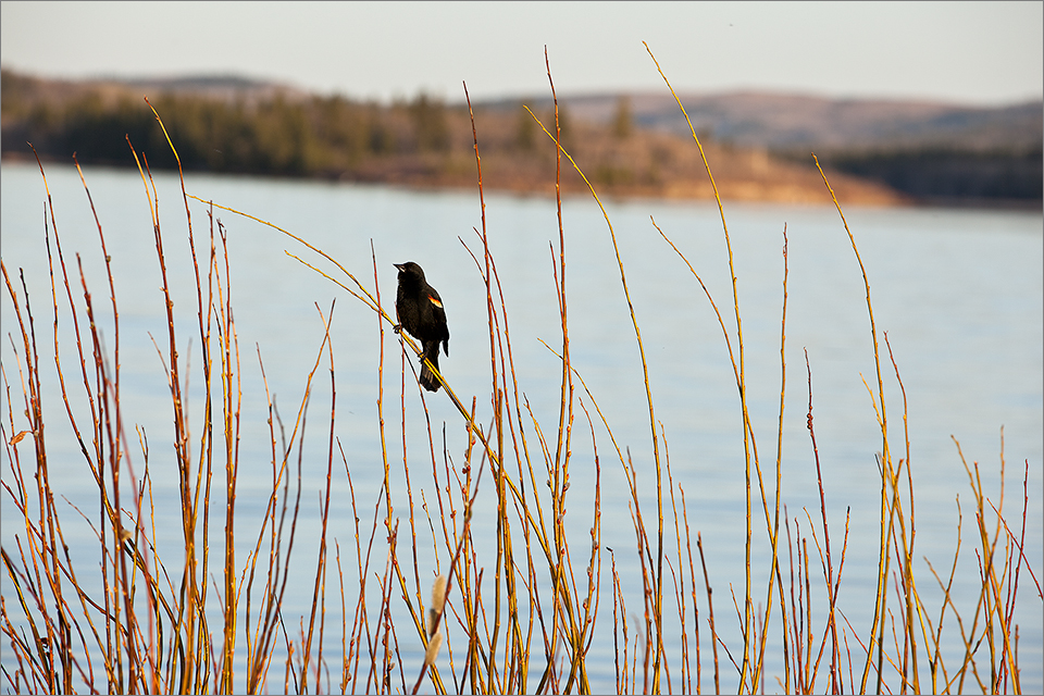 Beauvais Lake Blackbird