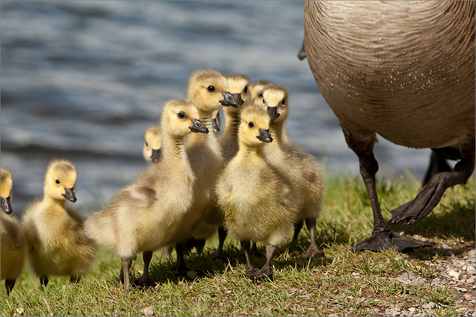 Canada Geese #3