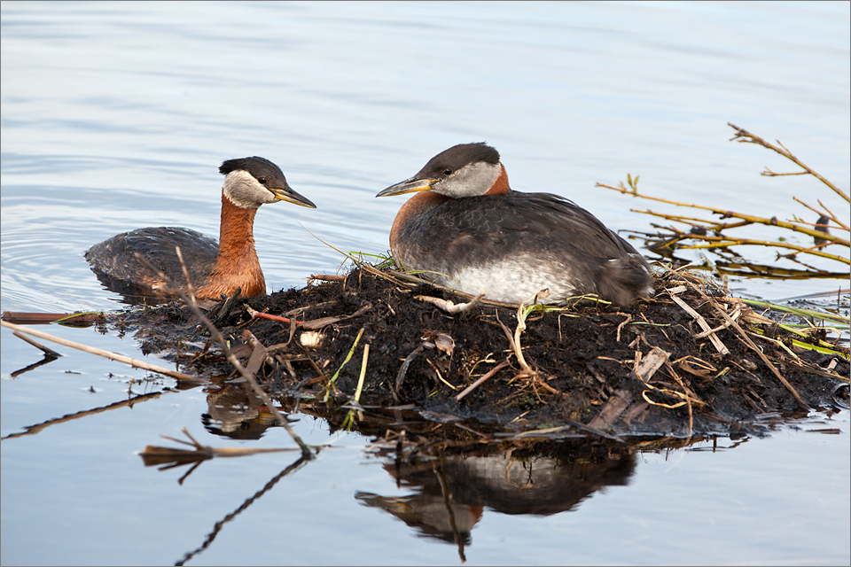 Red-necked Grebe #3
