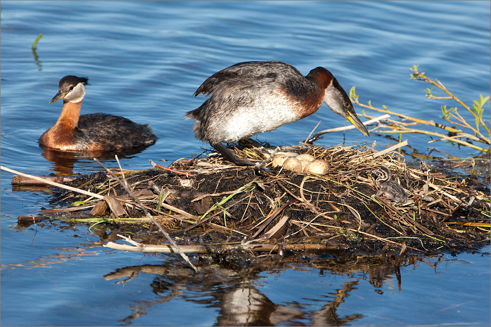 Red-necked Grebe #1