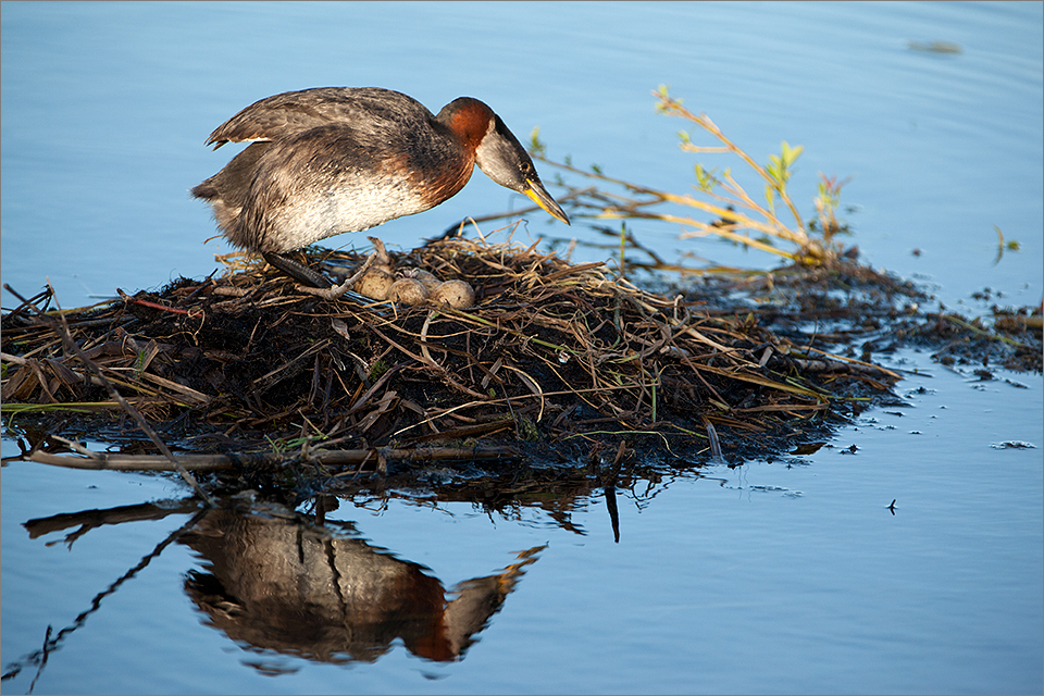 Red-necked Grebe #4