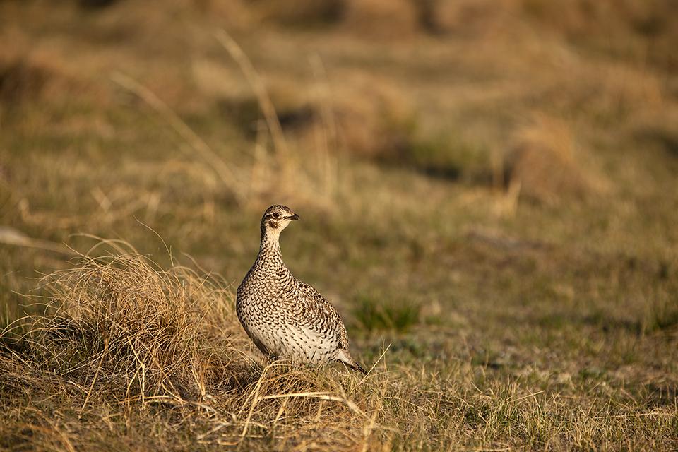 Sharp-tailed Hen