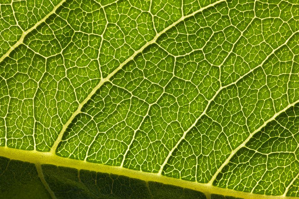 Balsamroot Leaf