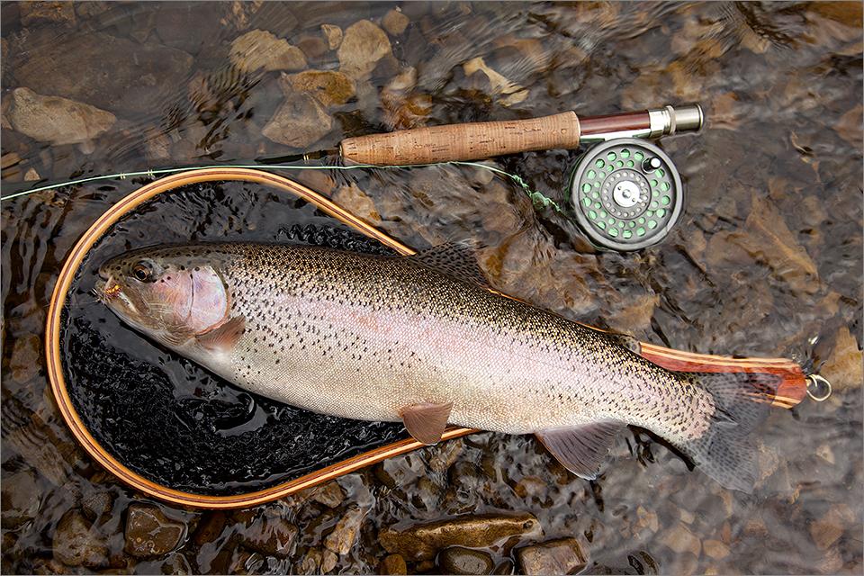 Crowsnest River rainbow trout