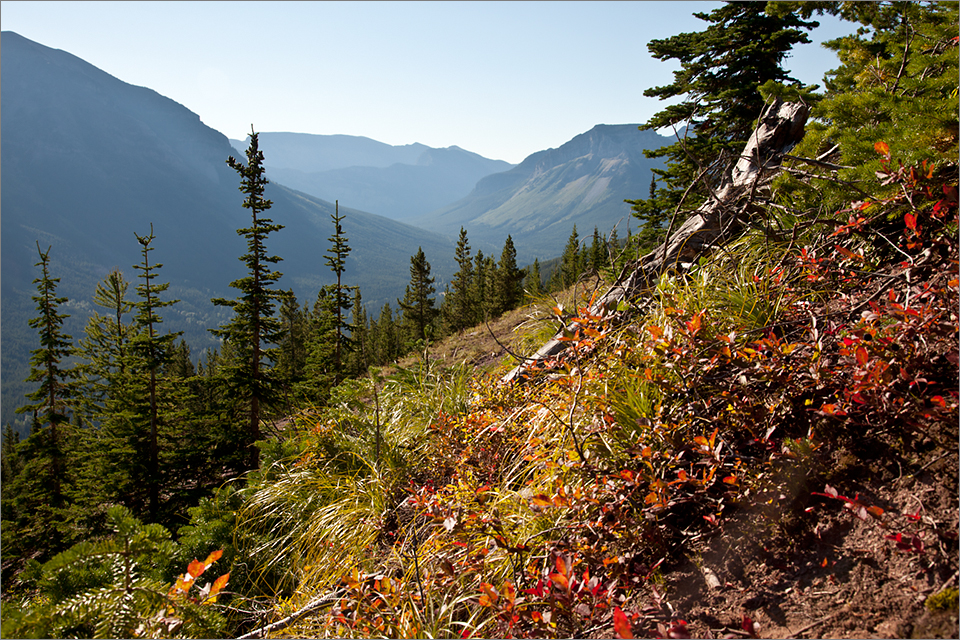 Huckleberries thrive at elevations above 4,500 feet