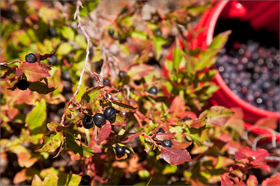 Ripe huckleberries ready to be picked