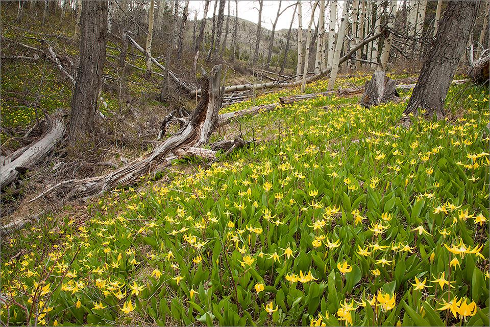 Crowsnest Pass Glacier Lilies