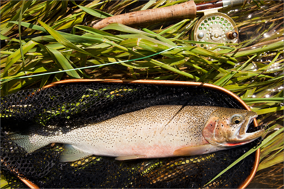Crowsnest cutthroat trout