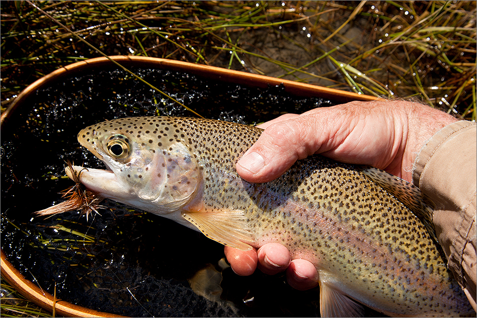 Rainbow trout on a dry fly