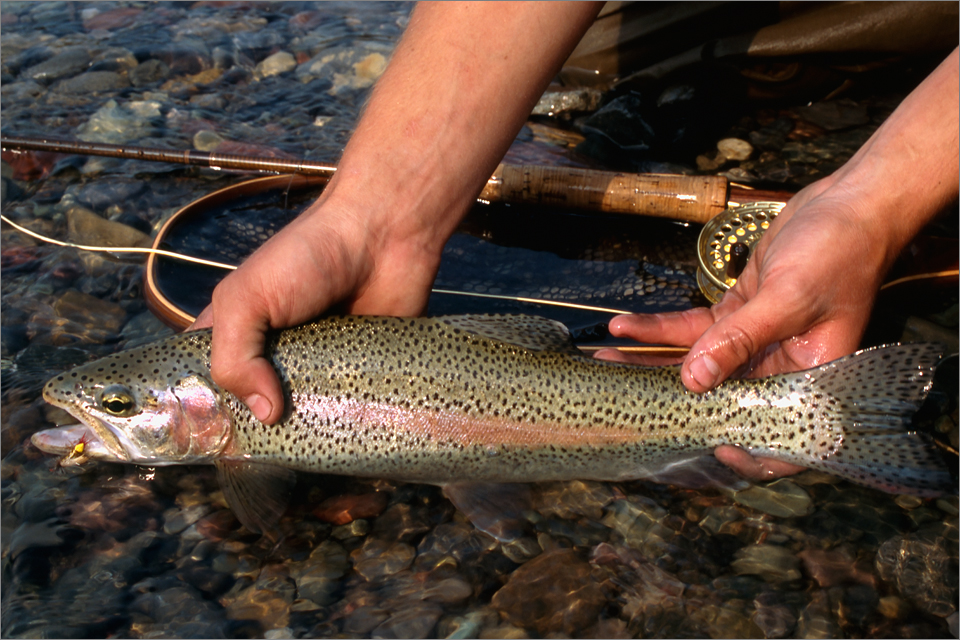 Castle River rainbow trout caught on an SA Hopper